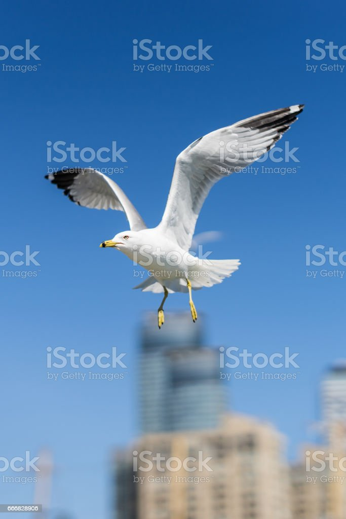 Ring-billed seagulls on a sunny day at the Toronto Harbourfront, Lake Ontario. stock photo