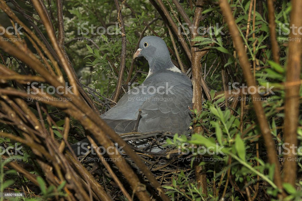 ringdove / pigeon taking care of its nest stock photo