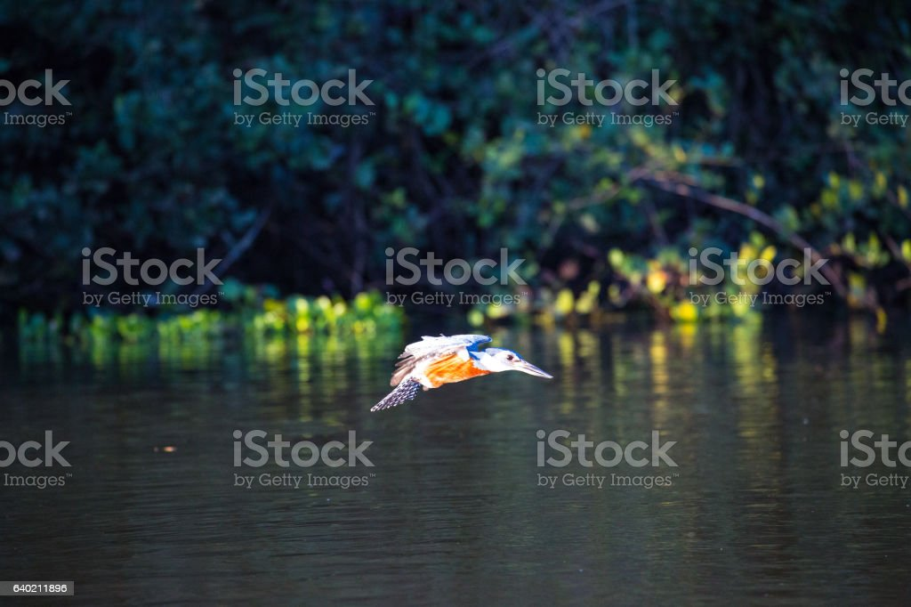 Ringed Kingfisher in Pantanal, Mato Grosso, Brazil stock photo