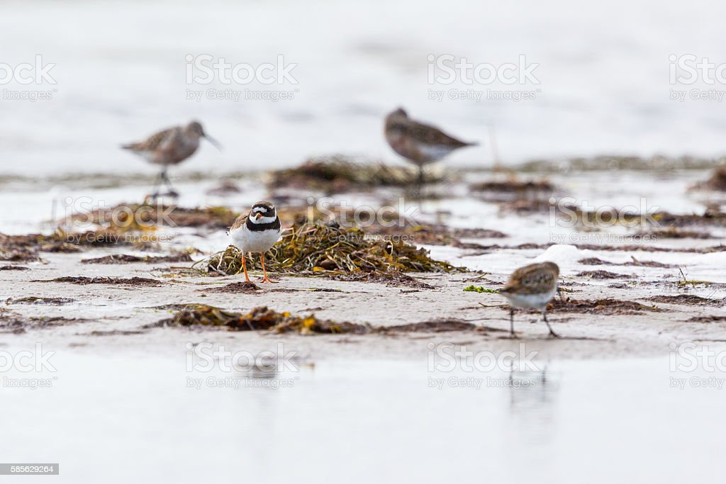 Ringed plover at a beach stock photo