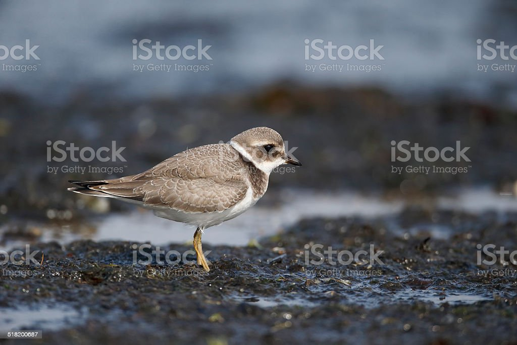 Ringed plover, Charadrius hiaticula stock photo