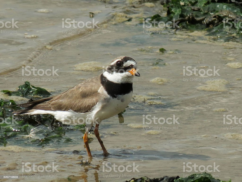 Ringed Plover On A Beach stock photo