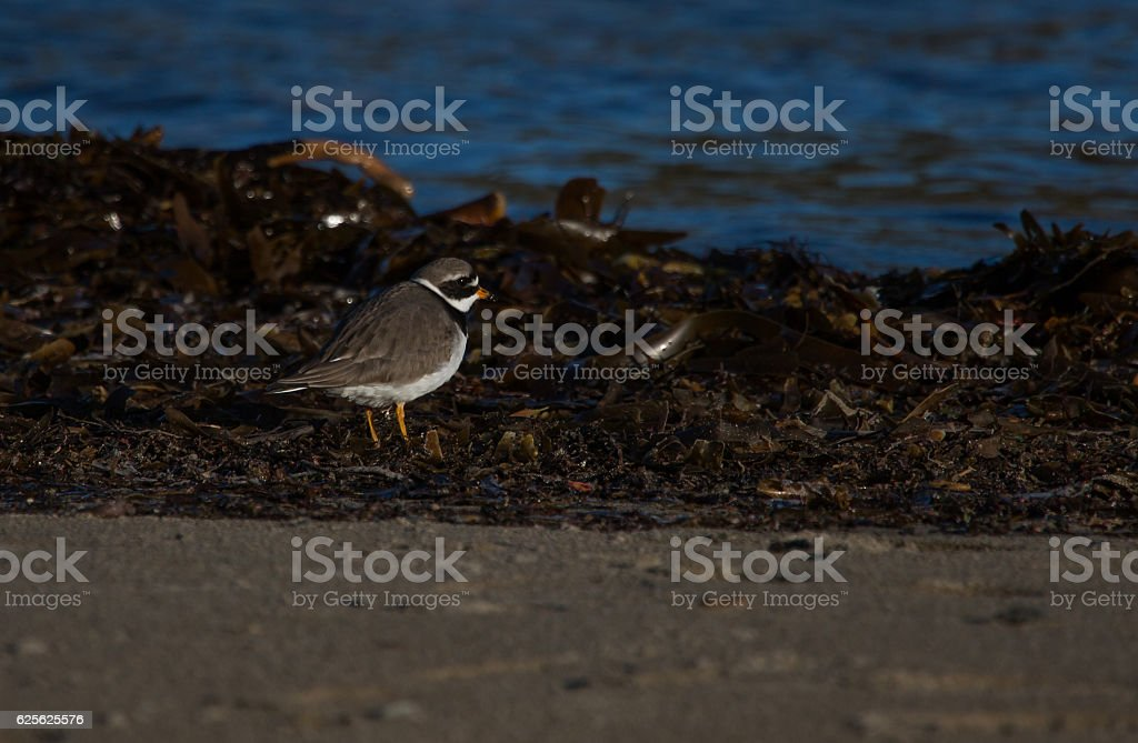 Ringed plover on seaweed beach stock photo