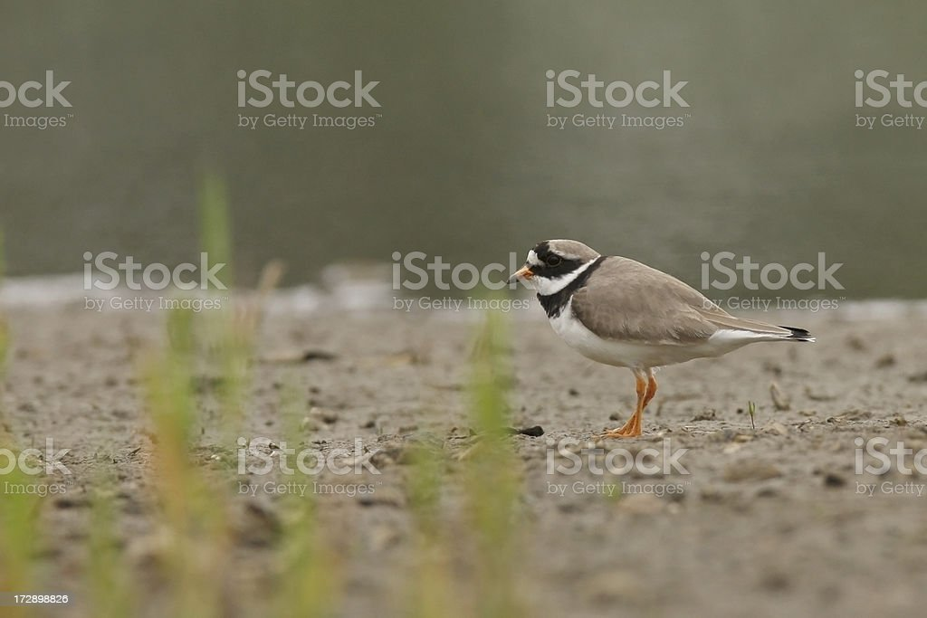 Ringed Plover (Charadrius hiaticula) stock photo