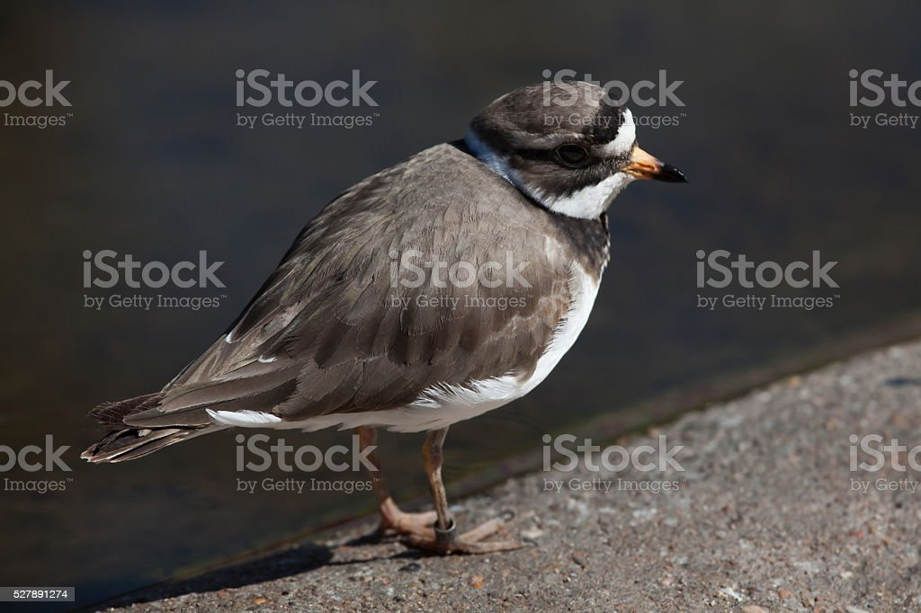 Ringed plover (Charadrius hiaticula). stock photo