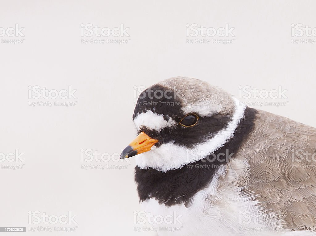 Ringed plover portrait stock photo