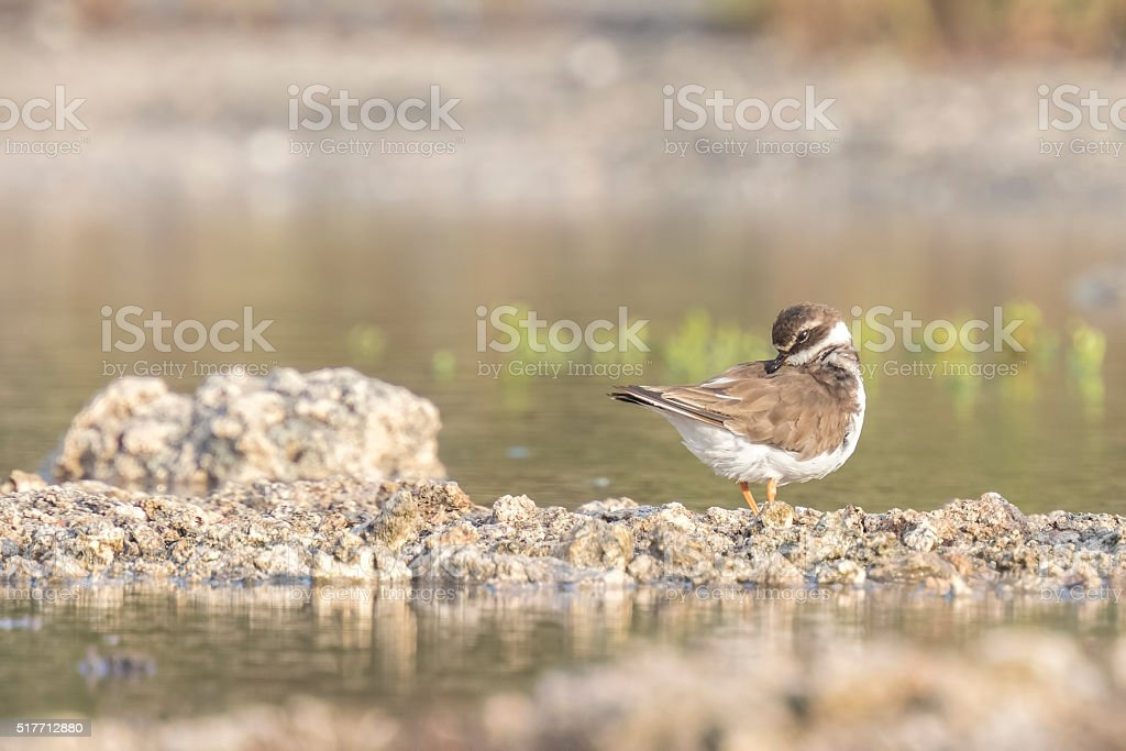 Ringed Plover preening stock photo