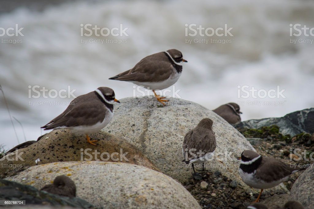 Ringed plovers stock photo