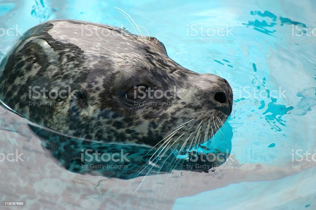 Ringed seal royalty-free stock photo
