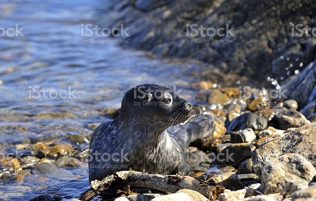 ringed seal stock photo