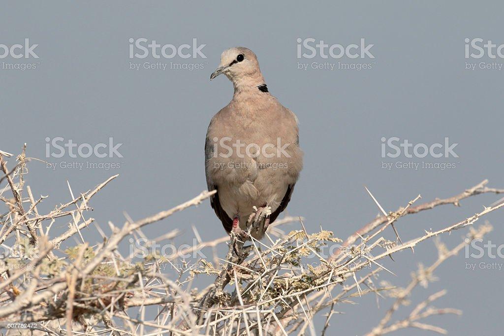 Ringed-necked dove or Cape-turtle dove, Streptopelia capicola stock photo
