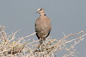 Ringed-necked dove or Cape-turtle dove, Streptopelia capicola
