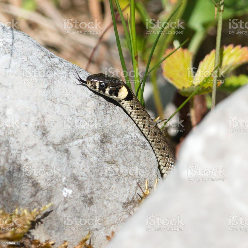 Ringelnatter, Grass Snake stock photo