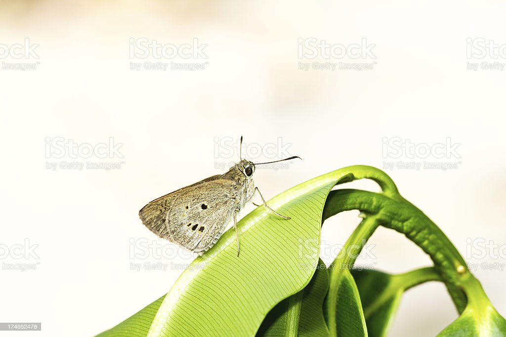 Ringlet butterfly stock photo