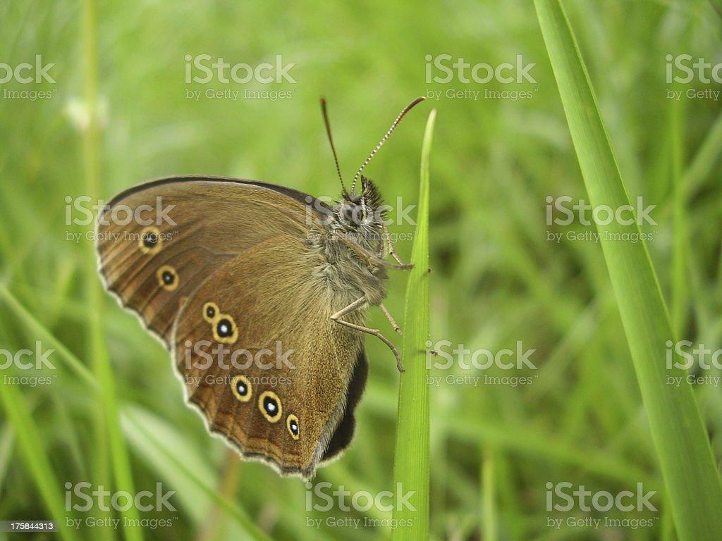 Ringlet Butterfly royalty-free stock photo