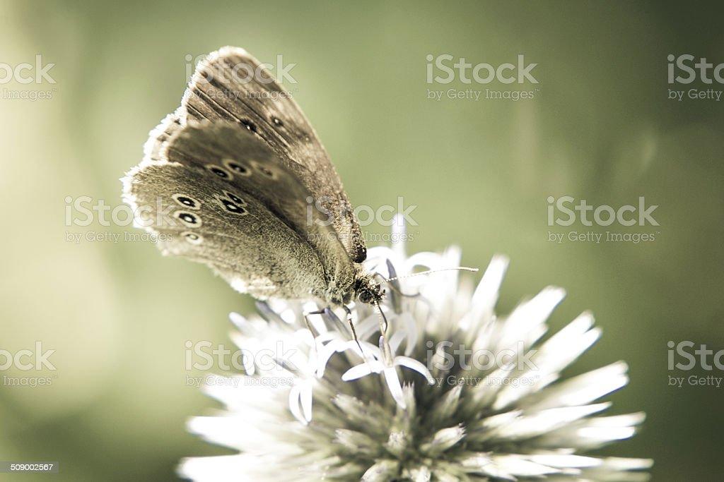 ringlet butterfly (aphantopus hyperantus) stock photo