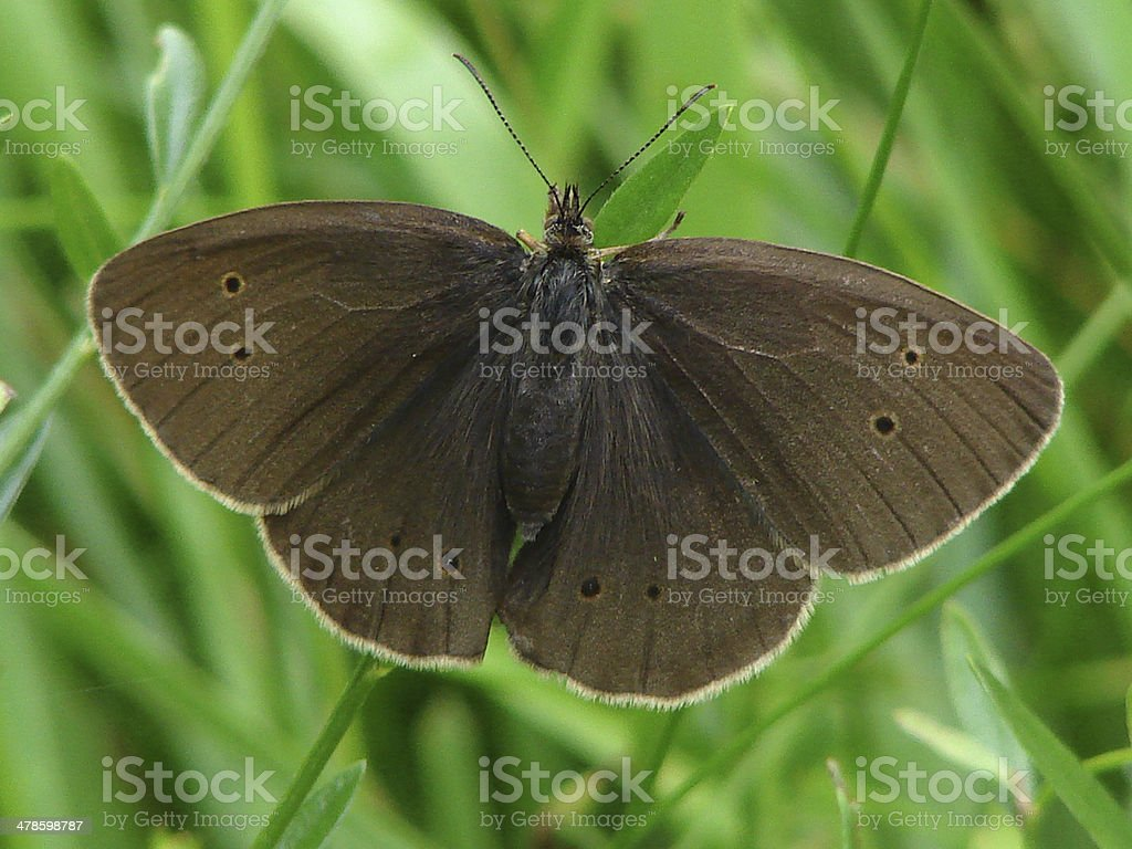 Ringlet butterfly with wings open on blade of grass royalty-free stock photo