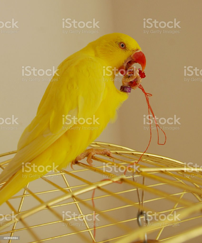 Ringneck parrot eating a chili stock photo