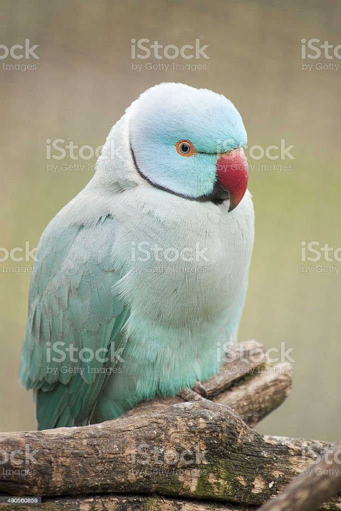 Ringneck Parrot stock photo