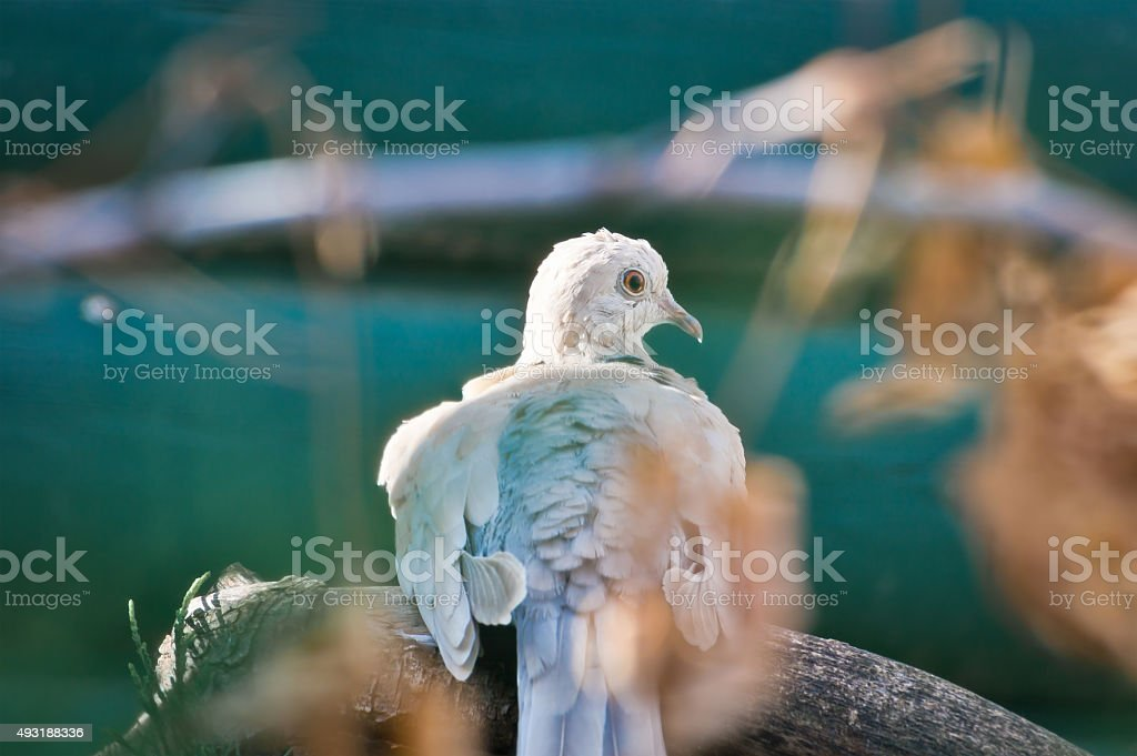 Ring-Necked Dove Perched on Branch stock photo