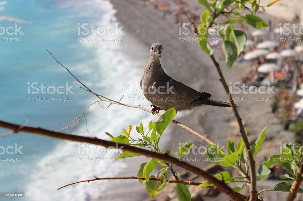 Ring-Necked Dove stock photo