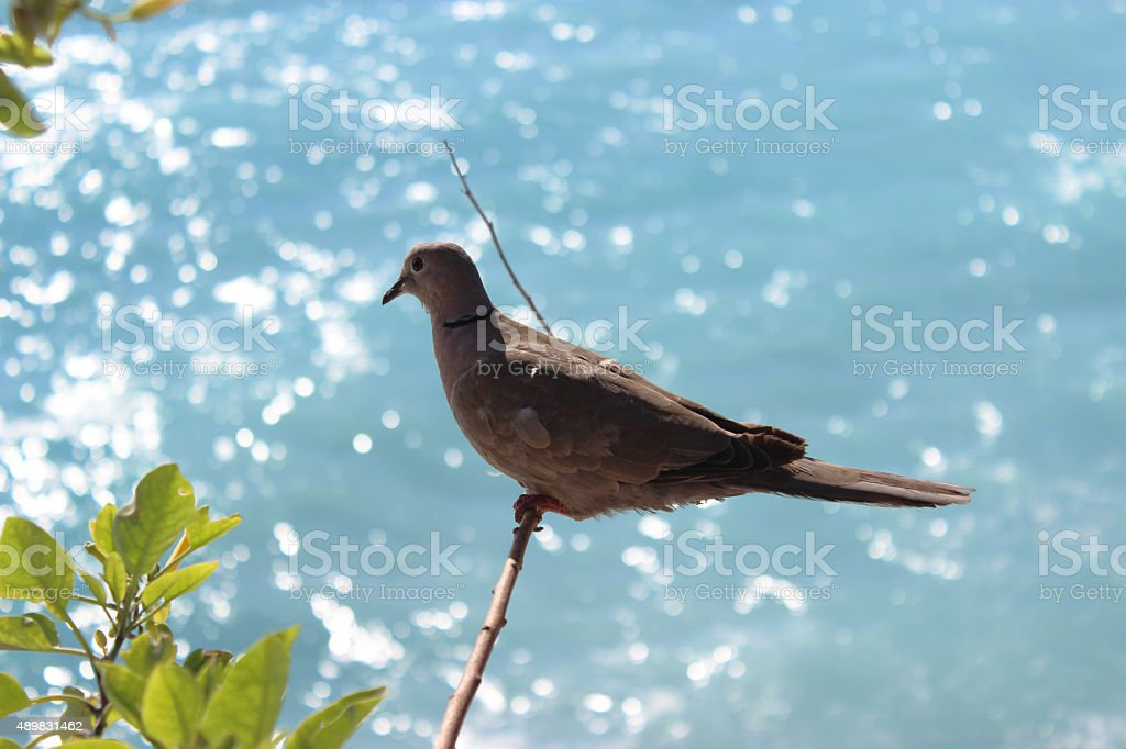 Ring-Necked Dove stock photo