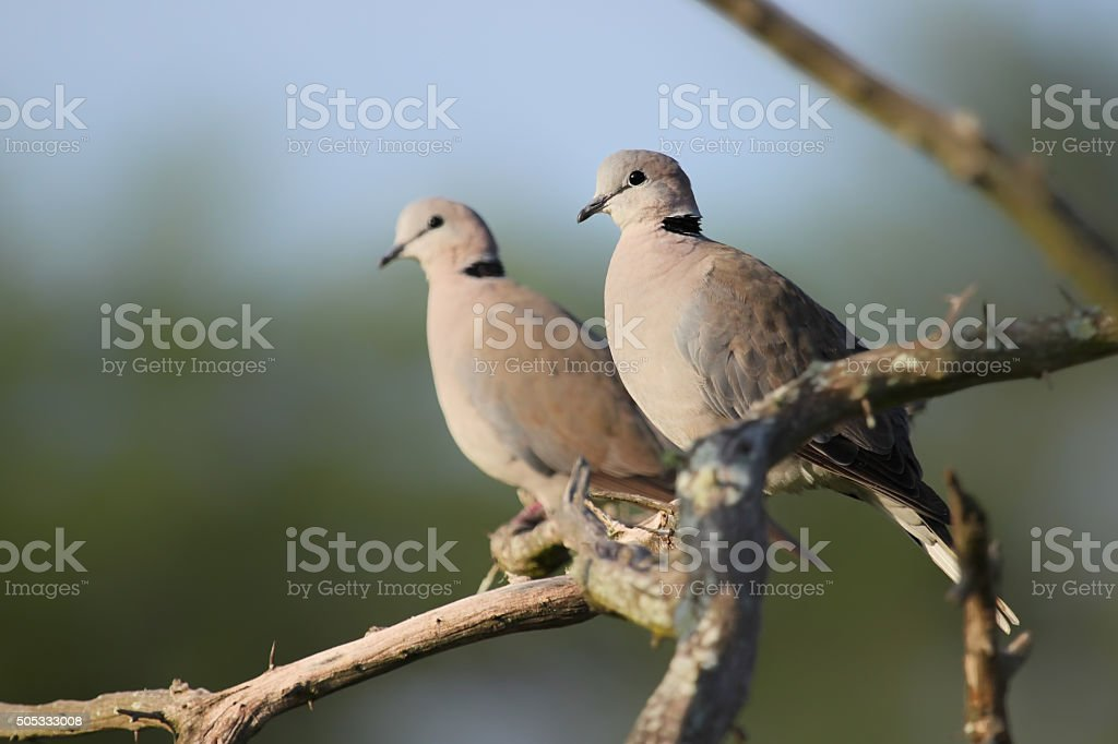 Ring-necked Dove (Streptopelia capicola) stock photo