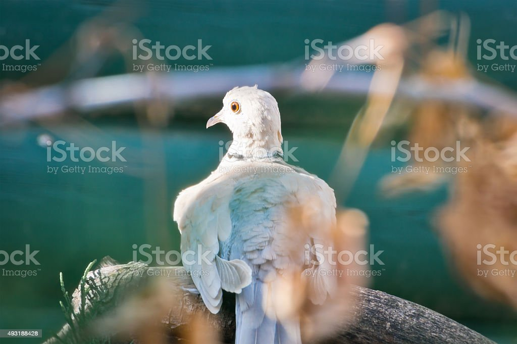 Ring-Necked Dove Stretches it's Neck stock photo