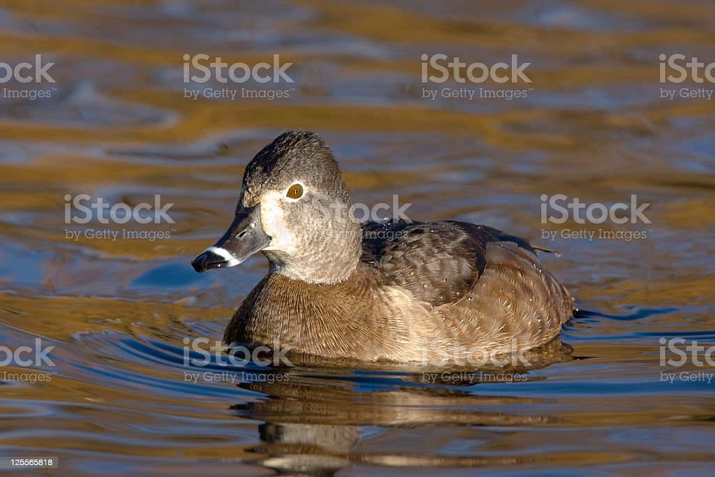 Ring-necked Duck female stock photo