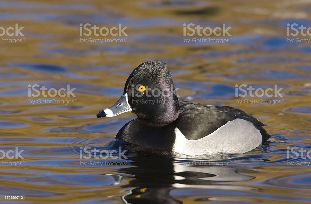 Ring-necked Duck Male stock photo