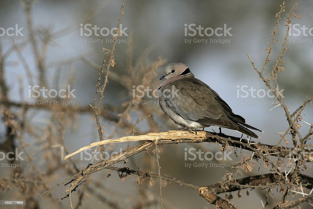 Ring-necked or Cape turtle dove stock photo