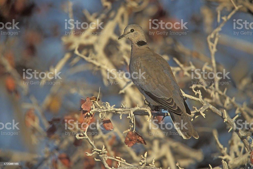 Ring-necked or Cape-turtle dove, Streptopelia capicola stock photo