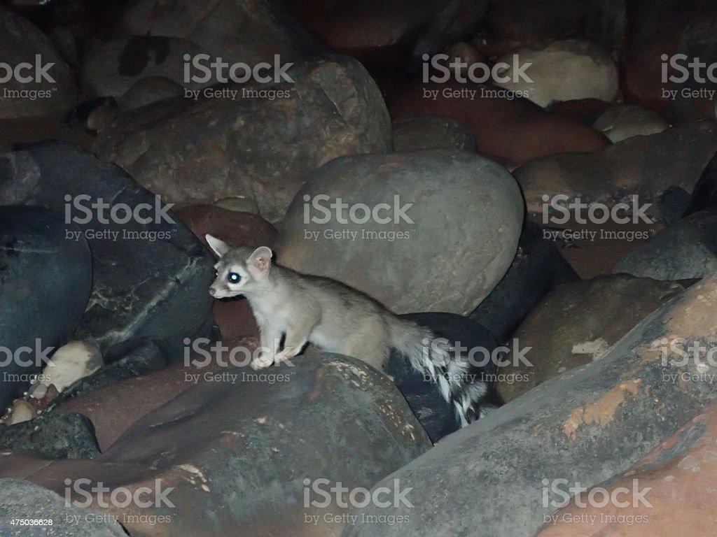 Ringtail cat Grand Canyon National Park Arizona wildlife stock photo