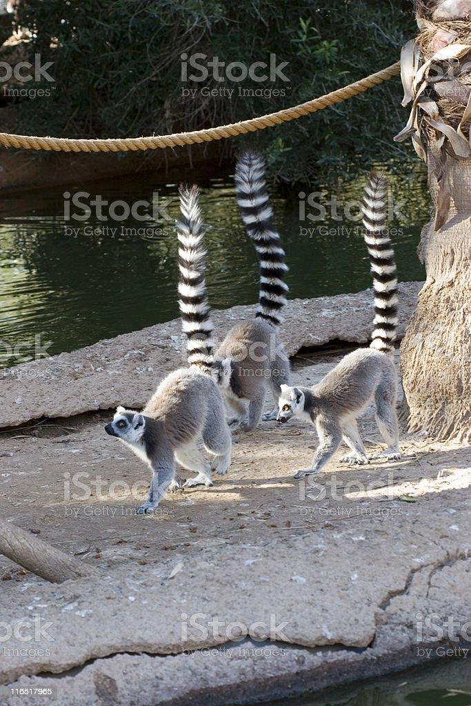 Ringtail Lemurs Rule of Third stock photo