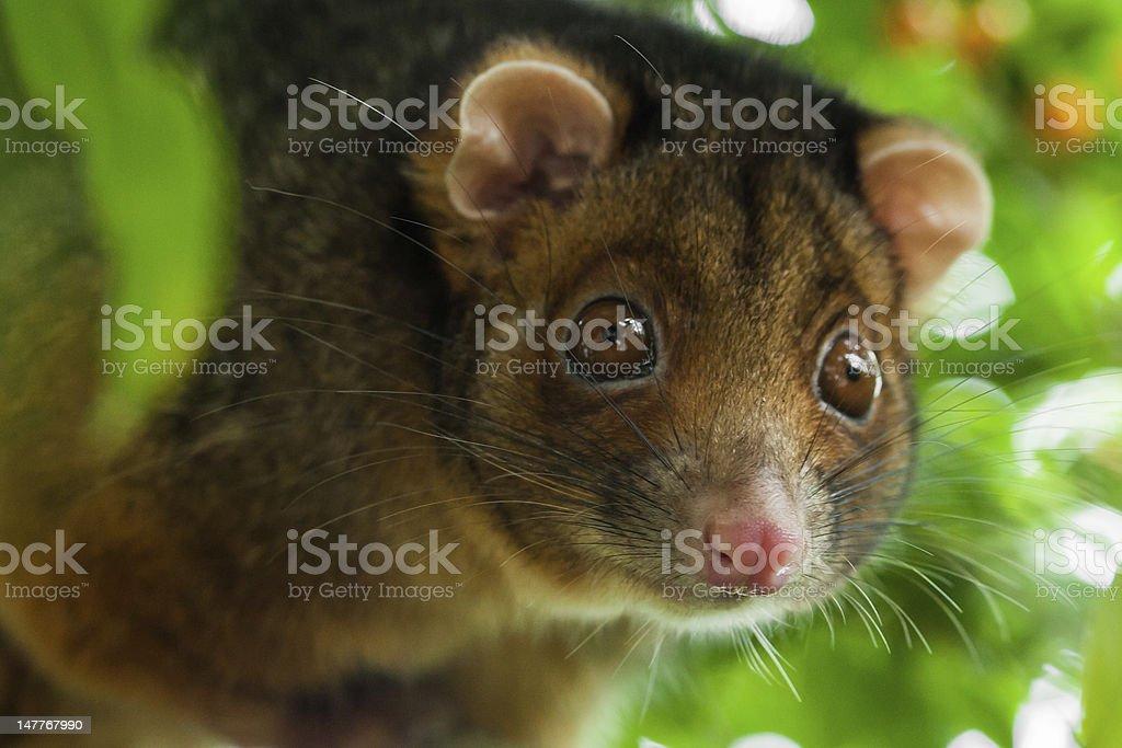Ringtail Possum Shallow Focus stock photo