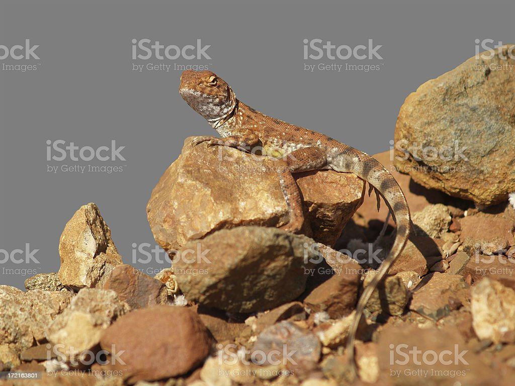 Ring-tailed Dragon stock photo