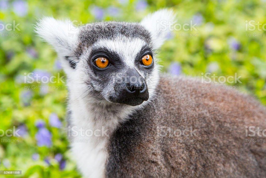 Ring-tailed lemur aka Lemur catta  face close up portrait stock photo