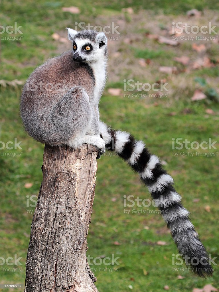 Ring-tailed Lemur catta sitting on a log royalty-free stock photo
