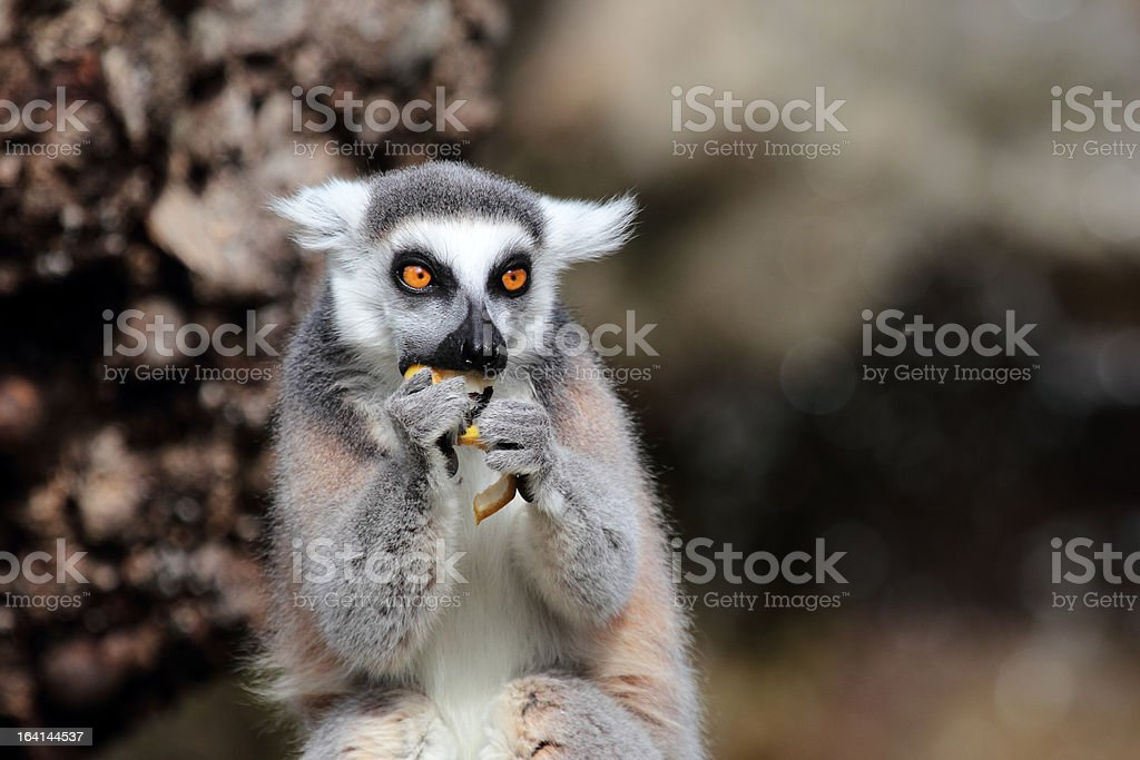 Ring-tailed lemur (Lemur catta) eating a fruit royalty-free stock photo