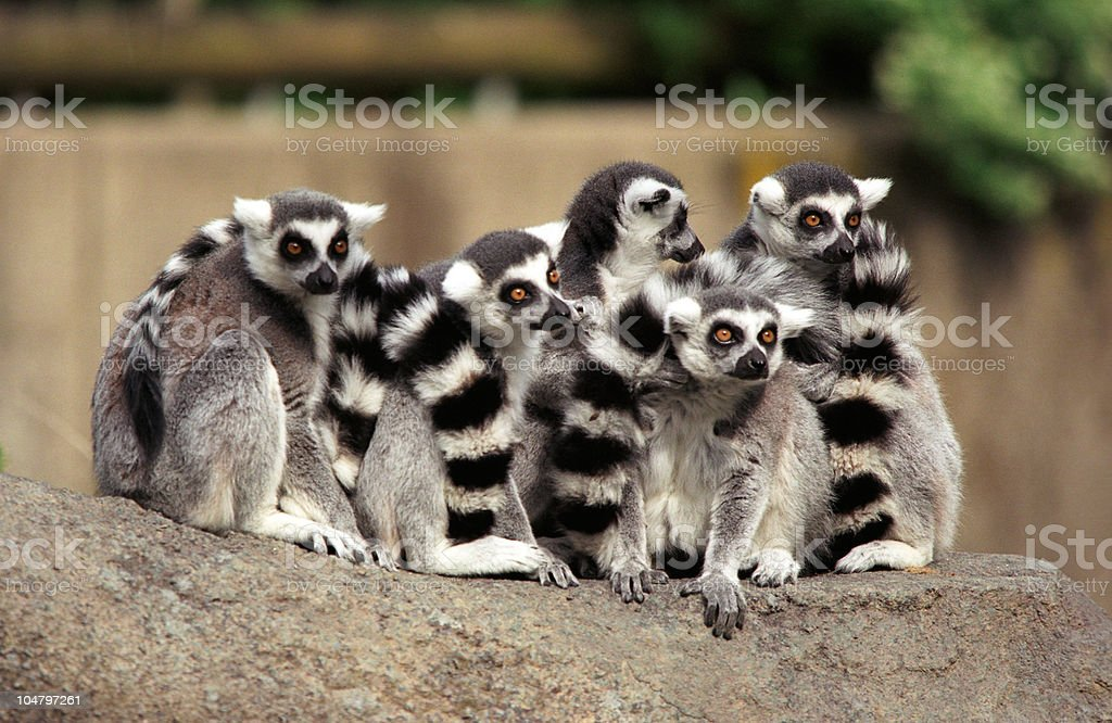 Ring-tailed Lemur Group royalty-free stock photo