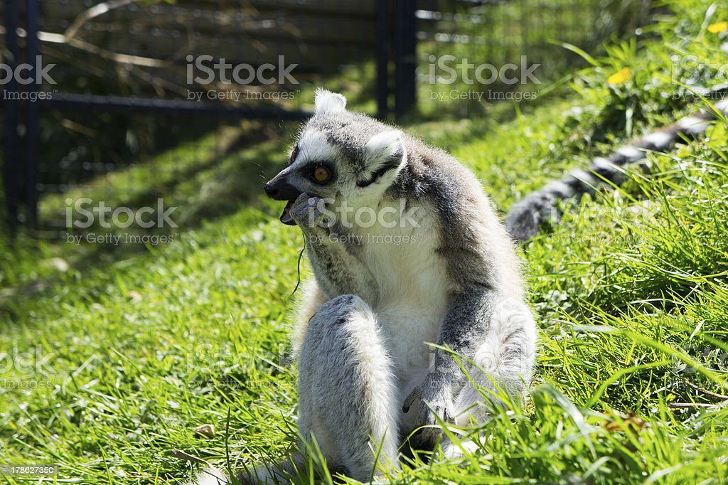 Ring-tailed Lemur having a munch royalty-free stock photo