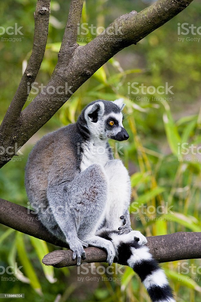 Ring-tailed Lemur in a wildlife park royalty-free stock photo