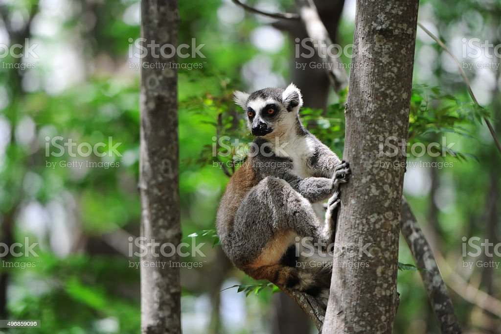 Ring-tailed Lemur. Lemur catta. stock photo