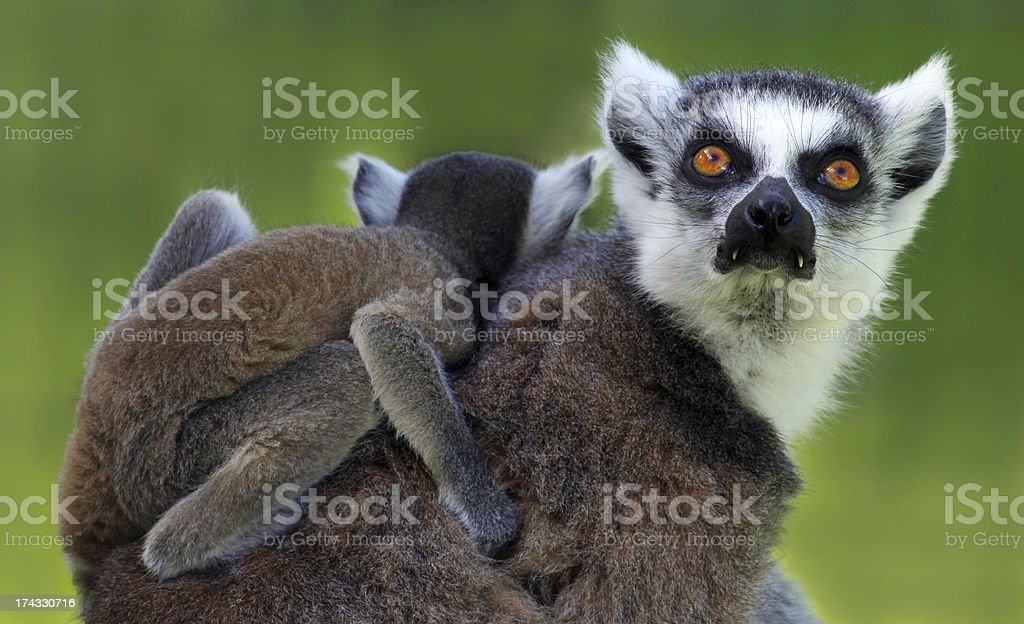 Ring-tailed lemur  - Mother and child royalty-free stock photo