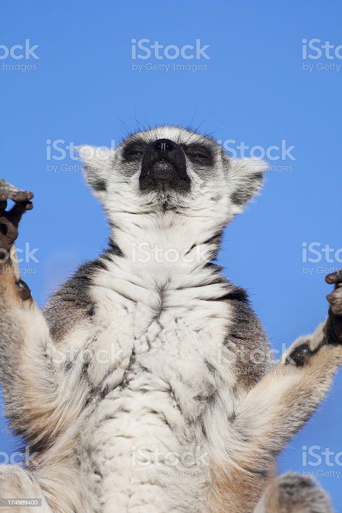 Ring-tailed lemur . royalty-free stock photo
