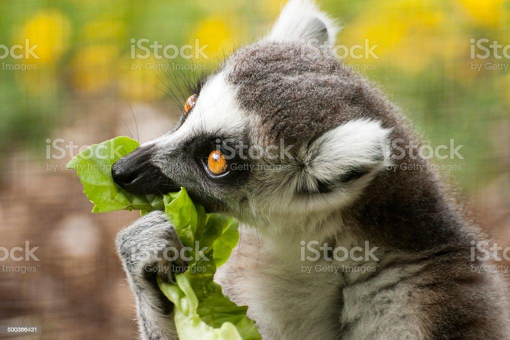 Ring-tailed lemur royalty-free stock photo
