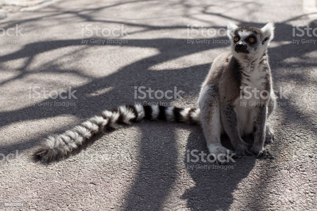 Ring-tailed lemur. stock photo