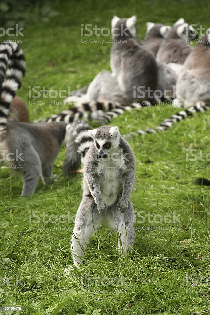 Ring-tailed lemur searching for food standing up royalty-free stock photo