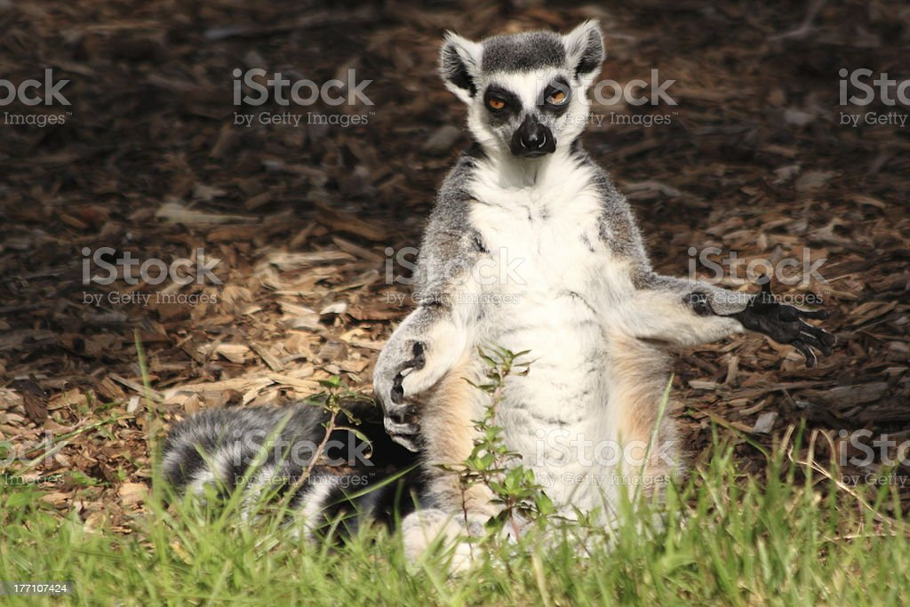 Ring-tailed lemur standing stock photo
