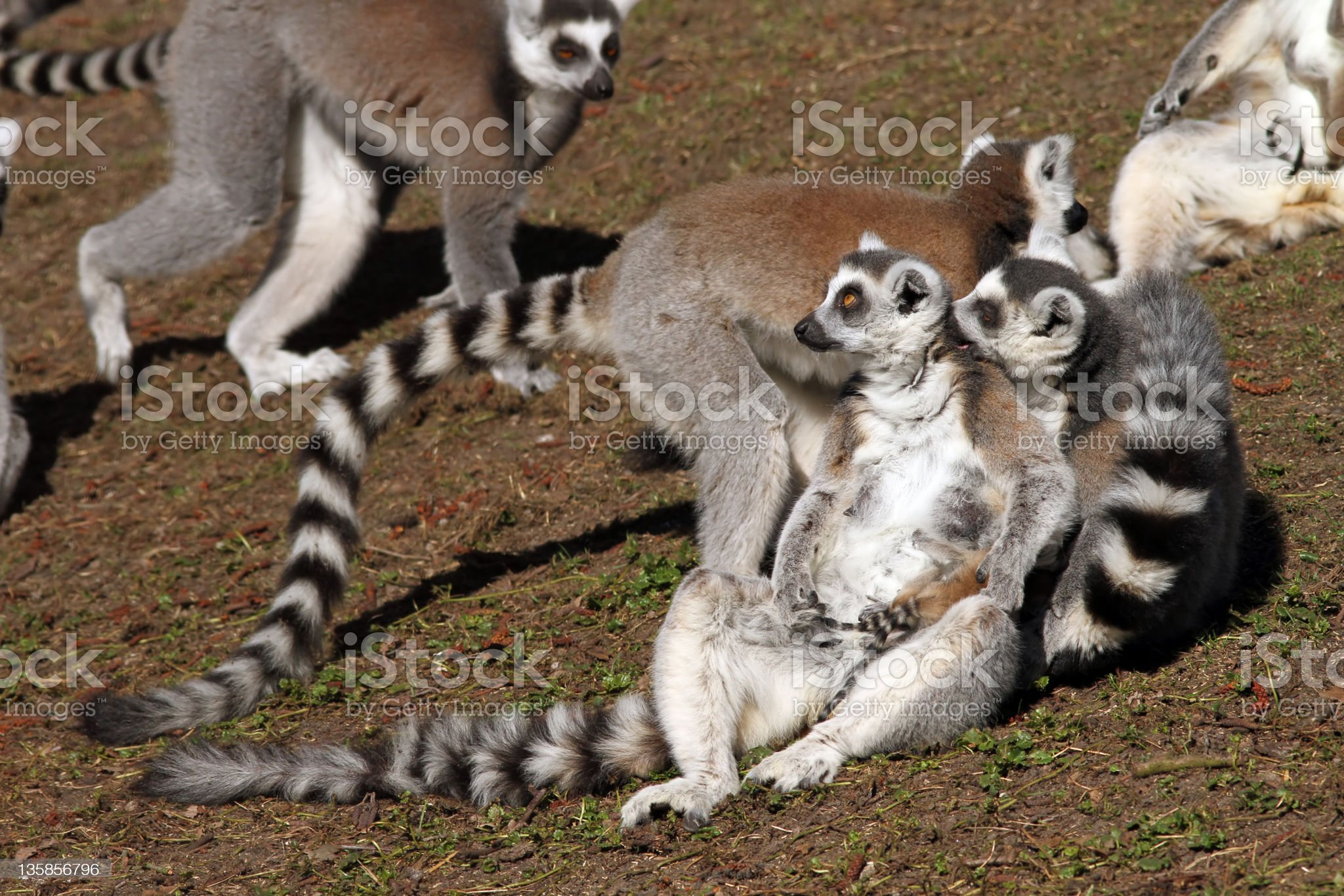 Ring-tailed lemurs royalty-free stock photo